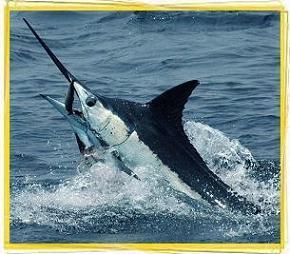 marlin-sailfish-billfish